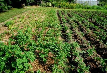 Kartupeļu audzēšana Rojā